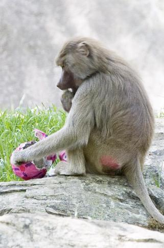 """A baboon at the North Carolina Zoo eats treats out of a papier-mache egg that was put into its exhibit as part of the park's """"Egg-Stravaganza"""" event Saturday, April 11, 2009. (NC Zoo photo by Diane Villa)"""