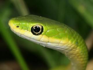 This photograph, by Patrick Coin, of a green snake was one of the 2008 photo competition submissions.