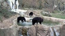 IMAGES: Black bears play on ice at Museum of Life and Science