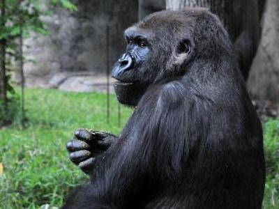 Jamani, an 11-year-old gorilla, is expected her first baby in the summer of 2011, which would be the first time since 1989 that a baby gorilla is born at the North Carolina Zoo. (Photo courtesy of N.C. Zoo)