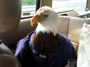 An injured bald eagle sits in the back of Raleigh firefighter Justin Bolduc's car on Feb. 14, 2013, while on its way to a veterinary clinic. (Photo from Facebook)