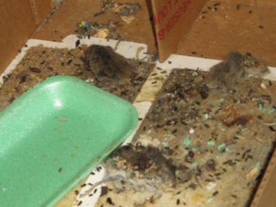 In March, state inspectors found 21 decomposing mice at an IGA in Wendell, as well as hundreds of rodent droppings. The store has since resolved the problem and is working with inspectors to make sure it does not happen again.