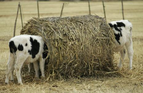 Calves eat from a large round bale near Rotan, Texas. (AP Photo/Donna McWilliam)