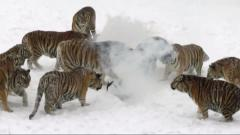 Tigers chase, pounce on drones in China