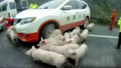 Escaped piglets cause traffic jam on freeway