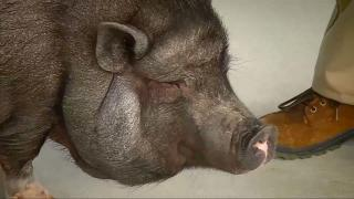 'Bilingual' pot belly pig knows multiple languages