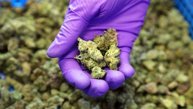 FILE-- Cannabis at Harborside, a medical marijuana dispensary in Oakland, Calif., Oct. 20, 2016. The Trump administration on Jan. 4, 2018, will free federal prosecutors to more aggressively enforce marijuana laws, effectively threatening to undermine the legalization movement that has spread to six states, most recently California. (Jim Wilson/The New York Times)