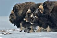 IMAGE: In the Arctic, More Rain May Mean Fewer Musk Oxen