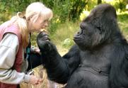 IMAGE: Koko the Gorilla, Famous for Using Sign Language, Dies at 46