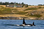 IMAGES: Starvation and Habitat Threats Stalk Killer Whales