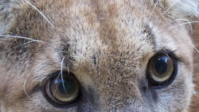 A photo provided by the National Park Service of P-74, the newest member of a group of mountain lions that park rangers in Southern California have tracked with GPS collars. On Nov. 26, 2018, rangers in the Santa Monica Mountains National Recreation Area, a vast area of trails and parks on federal land overlooking the Pacific Ocean, confirmed what they had feared was true: P-74 likely died in the Woolsey Fire. (National Park Service via The New York Times) -- FOR EDITORIAL USE ONLY --