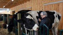 IMAGES: This Holstein's Plea: 'Stand Beside Me When You Measure My Size'