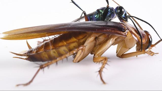A photo provided by Kenneth Catania of an emerald jewel wasp and an American cockroach. Scientists documented the fancy footwork that helps some cockroaches fend off the wasp's paralyzing sting. (Kenneth Catania/Vanderbilt University via The New York Times) -- NO SALES; FOR EDITORIAL USE ONLY WITH NYT STORY SCI ROACHES KICKS BY NICHOLAS ST. FLEUR FOR DEC. 4, 2018. ALL OTHER USE PROHIBITED. --