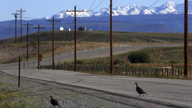 FILE -- Sage grouse cross a road in an area filled with oil and gas infrastructure in the Pinedale Anticline in Sublette County, Wyoming, June 24, 2014. The Trump administration on Dec. 6 published documents detailing its plan to roll back Obama-era protections for the vast habitat of the greater sage grouse, a chickenlike bird that roams across nearly 11 million acres in 10 oil-rich Western states. (Jim Wilson/The New York Times)