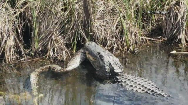 Wow! Gator makes meal out of python :: WRAL com