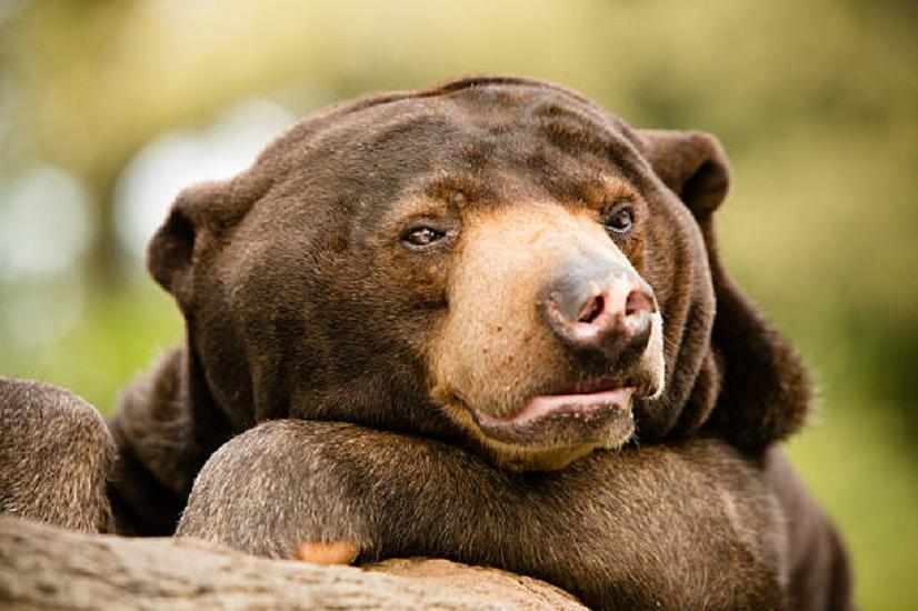 Setting Sun Spotlights Solitary >> Sun Bears Often Solitary Communicate Via Facial Expression Wral Com