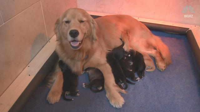 25bc729fa62 Golden retriever adopts abandoned pups :: WRAL.com