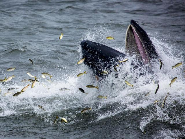 FILE -- A humpback whale surfaces while feasting on a school of menhaden, or bunker, fish, in the Atlantic Ocean off the coast of New Jersey, Sept. 7, 2018. A study published in Science Advances reports that the loss of some genes in the common ancestor of whales and dolphins allowed them to shed features that would have been liabilities beneath the waves, which may have contributed to the survival of future generations. (Dave Sanders/The New York Times)