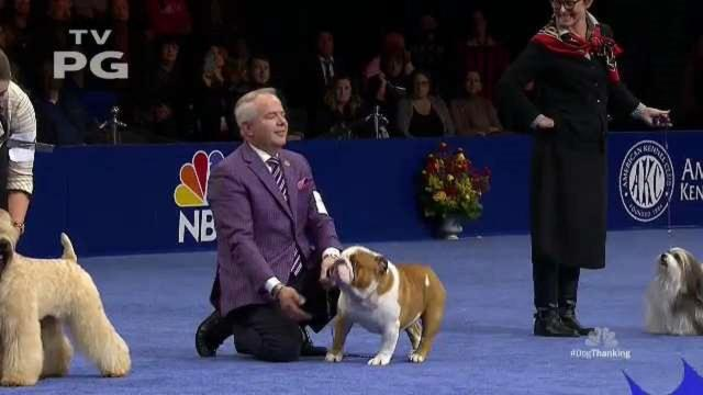 """OAKS, PA - NOVEMBER 16:  Bulldog named """"Thor"""" wins the """"Best in Show"""" at the Greater Philadelphia Expo Center on November 16, 2019 in Oaks, Pennsylvania.  Featuring over 2,000 dog entrants across 200 breeds, the National Dog Show, now it its 18th year, is televised on NBC directly after the Macy's Thanksgiving Day parade and has a viewership of 20 million."""