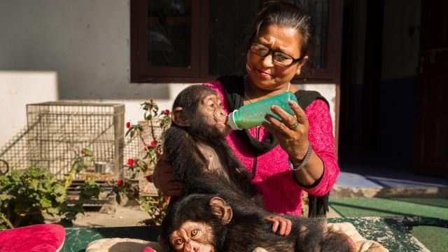 Maiya Kapali feeds Champa, the older of two chimpanzees rescued from a smuggling operation, at the Central Zoo in Kathmandu, Nepal, Dec. 12, 2017. Champa and Chimpu are now at the center of a spat between the Nigerian government, which is calling for them to be returned, and local wildlife officials, who would like to keep them here. (Samantha Reinders/The New York Times)
