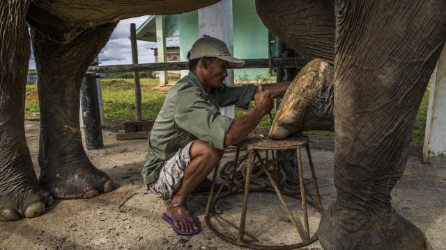 Barokah, an elephant rider, trims the nails on Nelson, a trained elephant at the Seblat Elephant Conservation Center in Bengkulu, Indonesia, Aug. 16, 2017. Advocacy groups are going undercover to help the police track down elephant poachers and using unconventional means to save the animals. (Kemal Jufri/The New York Times)