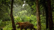 IMAGES: Man-Eating Tiger Is Shot Dead in India