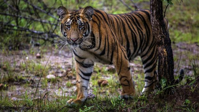 FILE -- A tiger cub in the Tadoba Andhari Tiger Reserve, near Chandrapur, in the Indian state of Maharashtra, Sept. 6, 2018. A tigress believed to have killed 13 people was shot dead there on Nov. 2, 2018. Days after the tiger was shot dead, a backlash was underway, with politicians and animal rights advocates denouncing the killing and a senior government minister threatening legal action against people involved in the hunt. (Bryan Denton/The New York Times)