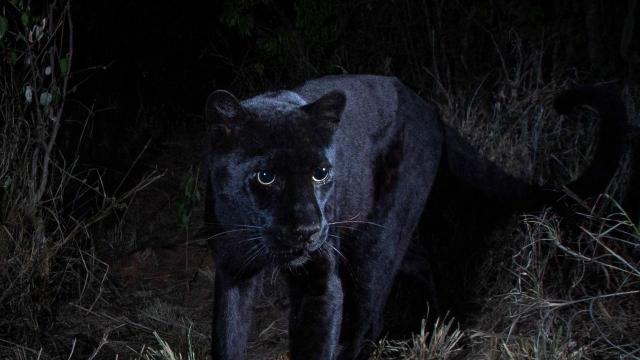 Will Burrard-Lucas shot the images of the black leopard at Laikipia Wilderness Camp (Will Burrard-Lucas)