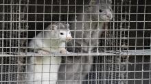 IMAGE: Denmark plans to cull up to 17 million mink to stop mutated coronavirus