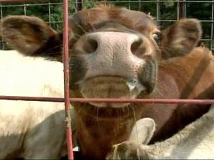Carolina Stockyards in Siler City has seen double the number of cattle coming to market because of the drought.