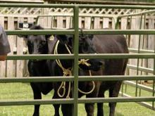 Cary officials capture runaway steer