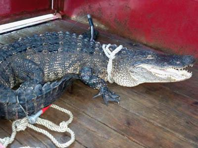 Authorities captured an 8-foot alligator in a creek north of Lillington on June 15, 2008. (Photo courtesy of Harnett County Animal Control)