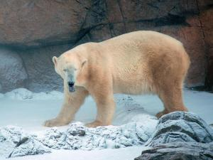 Wilhelm, the North Carolina Zoo's polar bear, walks through the snow. (N.C. Zoo photo by Jeff Owen)