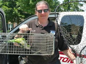 Clayton Police Animal Control Officer Angela Lee caught Charlie, a Quaker parrot, after a resident spotted him in the Glen Laurel subdivision. Charlie was reunited with Cary family Friday, July 31. His owners said he had flown out an open door about five weeks earlier. (Photo courtesy of the Clayton Police)