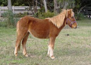 Jitterbug, a Banker pony, was introduced to the Shackleford Banks herd in early December 2009. (Photo courtesy of the National Parks Service)