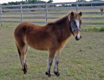 Sacajawea, a Banker pony, was introduced to the Shackleford Banks herd in early December 2009. (Photo courtesy of the National Parks Service)