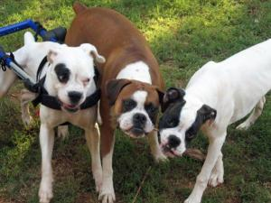Violet (far left), a 2-year-old Boxer, uses a doggy wheelchair due to a rare neurological disorder that impairs her ability to walk on her own. Violet was rescued by Blue Ridge Boxer Rescue after being hit by a vehicle in May 2008 and is now looking to be adopted. (Photo courtesy of Kristin Lee))