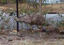 Rocky Mount police caught an emu that was seen running through a park, cemetery and streets on March 1, 2010. (Photos courtesy of Rocky Mount Police Department)
