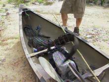 Hope Mills alligator caught
