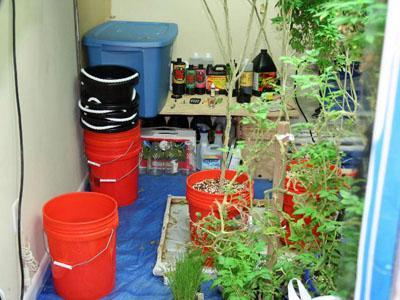 Clayton police seized 48 marijuana plants from a home on Kewsick Lane on Jan. 14, 2011. (Image courtesy of Clayton police)