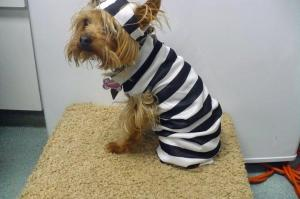 Gidget, a 5-pound Yorkshire terrier, was put under a mandatory rabies quarantine after biting a vet tech. Her rabies vaccine wasn't up to date. (Photo courtesy of Facebook/Sanford Animal Hospital)