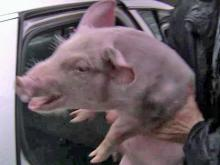 Pigs loose on I-40