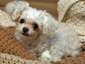 Lait, a 13-year-old teacup poodle, came home safely after being stolen during a home burglary on James Street in Durham on Wednesday, March 30, 2011.
