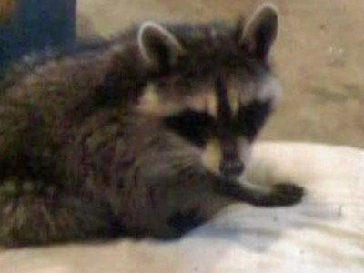 Before they knew it was rabid, the Koonce family treated a raccoon like a pet at their Fayetteville home.