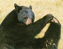 Ursula, a bear that lived at the Durham Museum of Life and Science for almost 20 years, was euthanized because of lameness in her hind legs in October 2011. (Photo courtesy of the Museum of Life and Sciences)