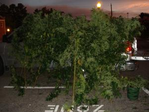 Authorities seized 19 marijuana plants during a bust at a Moore County home on Aug. 8, 2012.