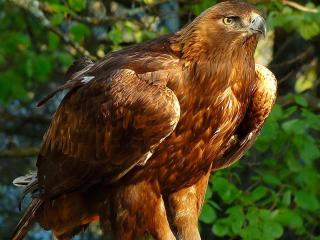 Morely the golden eagle