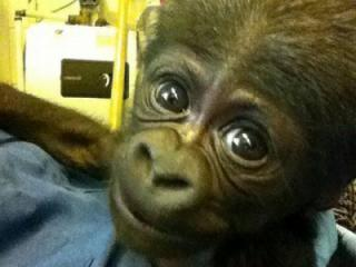 An unnamed baby gorilla born July 7, 2013, at the North Carolina Zoo in Asheville died July 9, in what zoo officials believe was an accidental death.