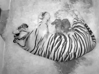 Courtesy Smithsonian National Zoological Park