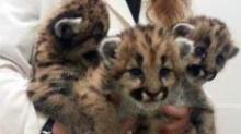 IMAGE: NC Zoo gains trio of cougar kittens